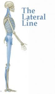 Here is the Lateral Line. It consists of a single myofascial continuity from the lateral arch, running up the side of the leg to widen at the iliac crest. From here it splits, forming a series of 'X's running up the rib cage all the way up to the head.