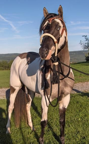 """""""Paint Horse stallion Chips and Dun. Grullo Overo"""" Grullo tobiano with wall eyes and badger face."""