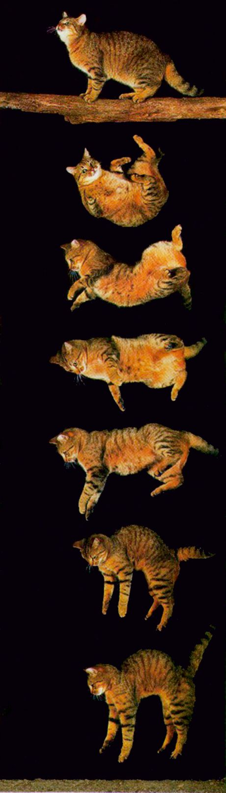 2001: The Journal of the American Veterinary Medical Association publishes a study of 132 cats who fell from high-rise buildings. It concludes that, contrary to expectations, the higher the fall, the more likely the cat is to survive. Researchers hypothesize that in falls of more than seven stories, cats are able to flay their bodies like a parachute, decreasing their terminal velocity.