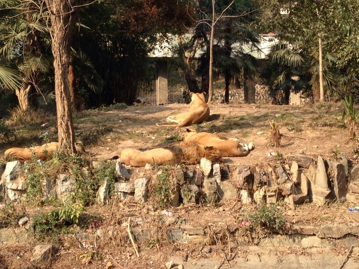 Animal instinct never left them. Guard while the others sleep. Lions. Wuhan zoo.