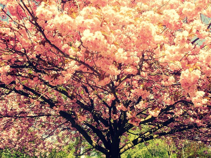 the sakura tree