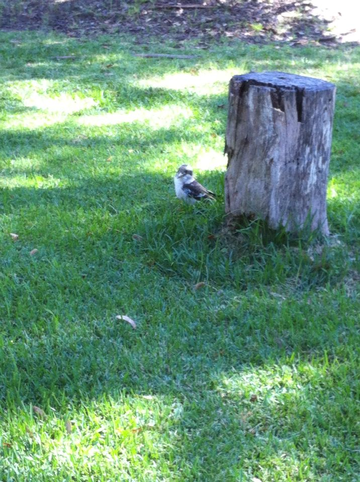 Kookaburra at www.mintobushcamp.com.au
