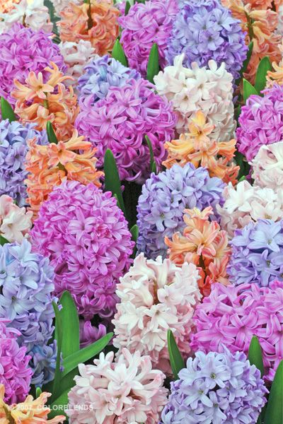 Beautiful!!!  Hyacinth Etouffee | Hyacinth Bulbs for Sale | COLORBLENDS