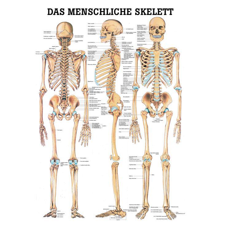 """Anatomische Lehrtafel \""""Das menschliche Skelett\"""""""
