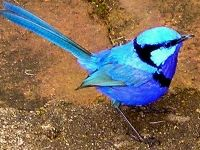 Splendid Fairy Wren male
