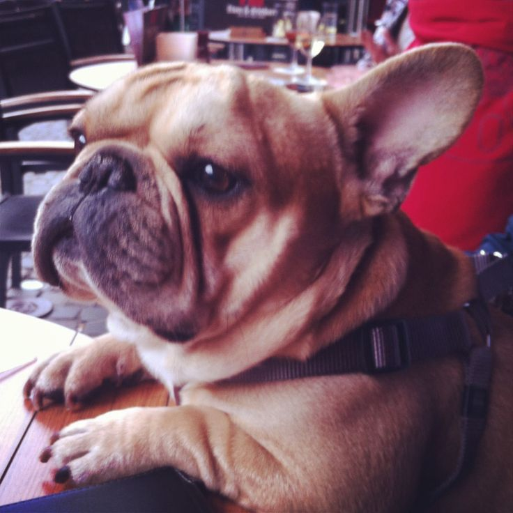 Hugo, the French Bulldog