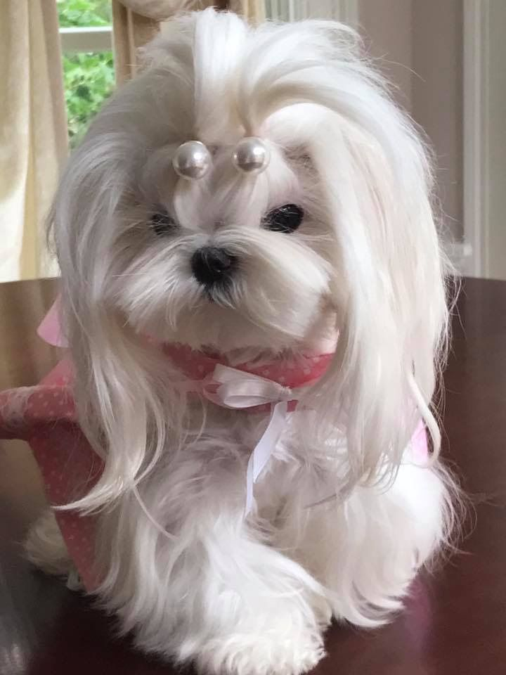 small dog haircuts 344 best puppy images on yorkies puppies and 2431 | d619a2ae88bdc2eb300de5d02613fe56