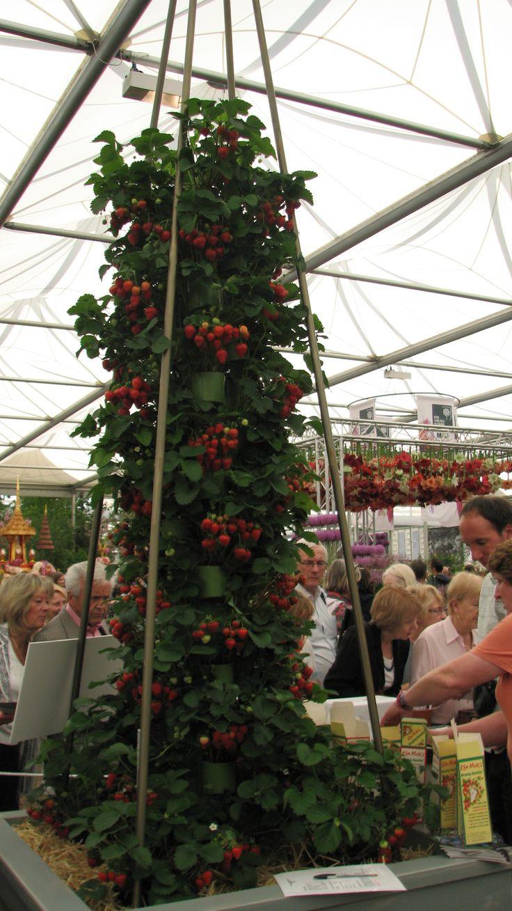 foto genomen op de Flower Show in Chelsea / Londen 2014 / aardbeien in de hoogte