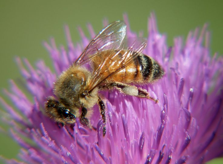 https://flic.kr/p/ahoL66 | Honey Bee taken with a FUJI HS10 using a HOYA +4 close up lens DSCF0984 | Handheld camera.
