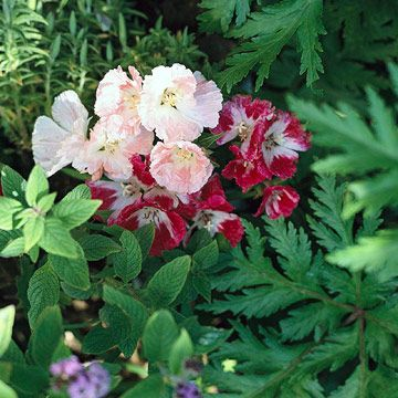 316 Best Images About Sun Loving Garden Plants On Pinterest
