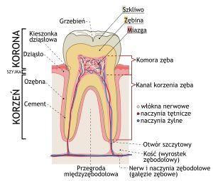 Zęby (łac. dens – ząb, l.mn. dentes) – złożone, twarde twory anatomiczne w jamie ustnej. Stanowią element układu trawienia i służą do rozdrabniania pożywienia.
