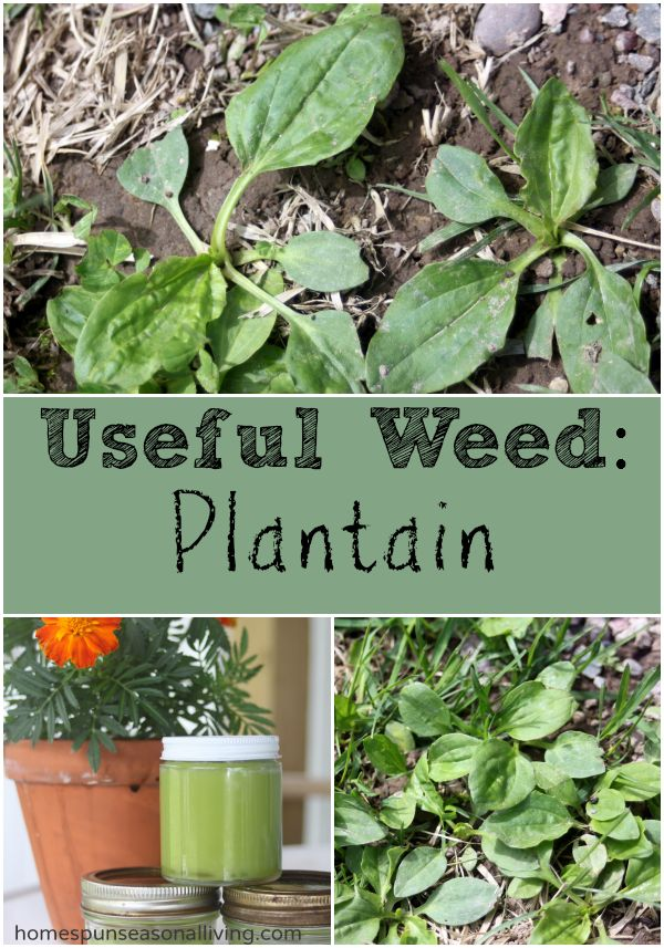 Useful Weed: Plantain - Homespun Seasonal Living