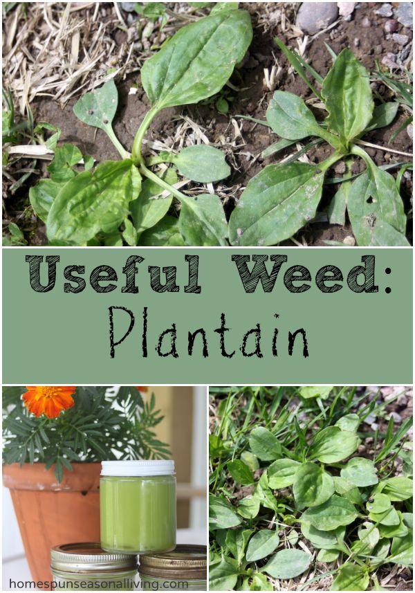 Useful Weed: Plantain - Homespun Seasonal Living