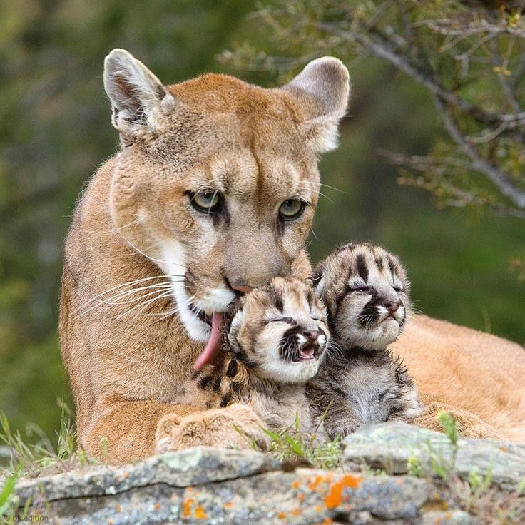 A Mountain Lion ~ With Her Young Kittens.
