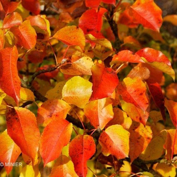 Pyrus calleryana Chanticleer - Poirier d'ornement