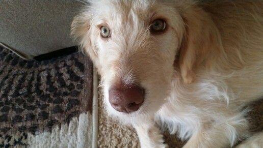Our Goldendoodle, Belle at 10 weeks