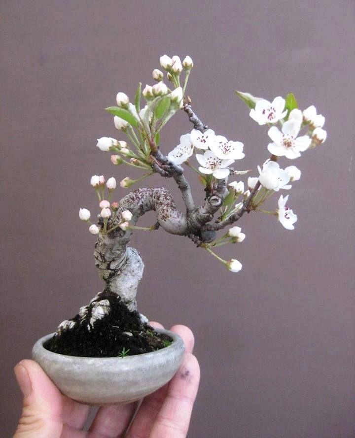 how to start a bonsai tree