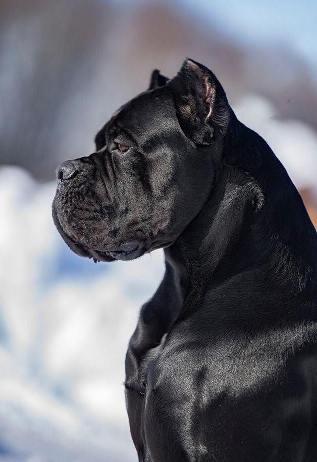 Cane Corso Italiano Cane Corso Italiano Cane Corso Cosasparaperros Frasesdeperros Italiano Mascotas En 2020 Perros Enormes Perros Peligrosos Perros Bonitos