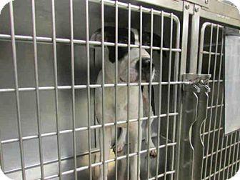 Oklahoma City, OK - Great Dane Mix. Meet A236043, a dog for adoption. http://www.adoptapet.com/pet/16410633-oklahoma-city-oklahoma-great-dane-mix
