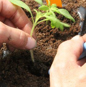 Wie Tomaten im Garten richtig anpflanzen?