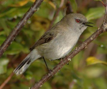 Grey warbler - Endemic Native NZ Bird