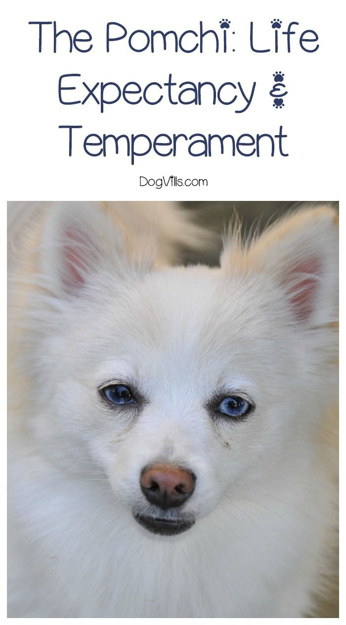 """Looking for answers to questions like """"What is the life expectancy of a Pomchi"""" and """"is this breed's temperament right for me? Check out the answers here!"""