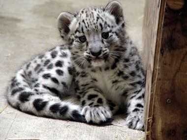New baby snow leopard. Endangered species, born in Grand Rapids!