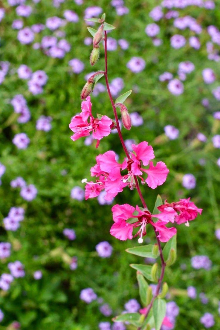 что кларкия фото цветы больше