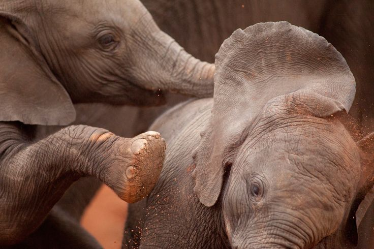 Elephants play in the park on November 5, 2014.