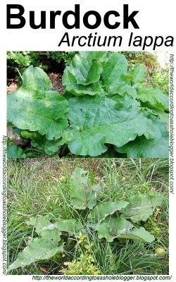 Wild Edible Plants: Burdock Root