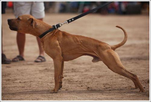 apbt:  GR CH IV LATIN DREAM KENNELS BEEF#pitbulls #dog breeds #canine pet #dogs #pitbull puppy #pitbull dog #pitbull breeds #red nose pitbull #pitbull terrier #apbt #staffordshire terrier #amstaff #english terrier #black pitbull #moo moo pit #chocolate pitbull #pitbull poodle #blue nosed pit #pitbull mutt #mans best friend #4 month old pitbull