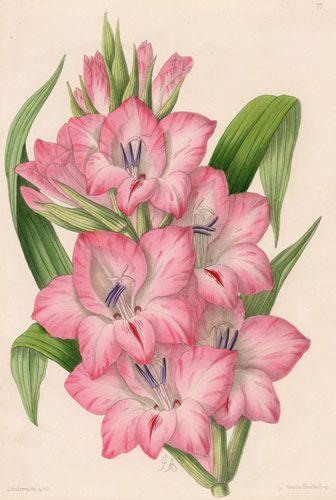 Pink Flowers Ferda Irem Kaya Kilicoglu onto Vintage Botanical Illustrations