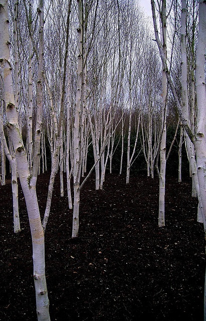 Silver Birch grove in the spring
