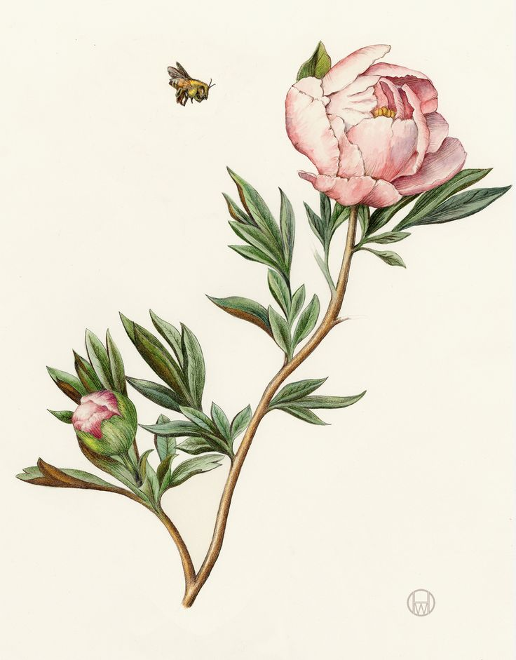 Peony. From the collection of botanical illustrations of flowers by Wendy Hollender.