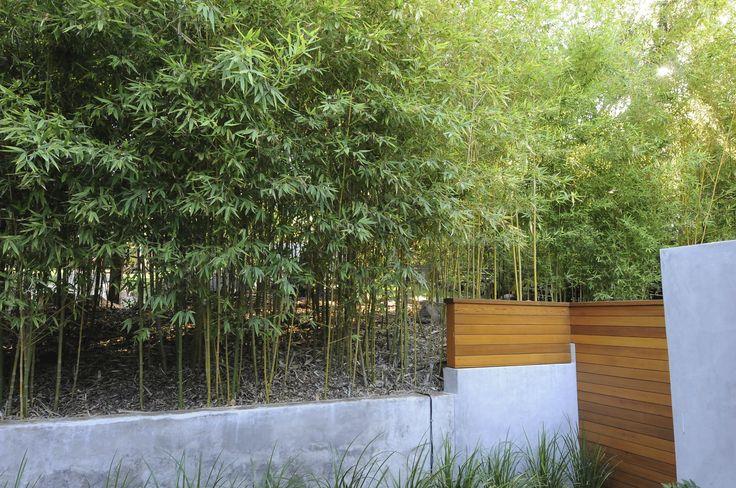Phyllostachys aurea (Golden Bamboo) **