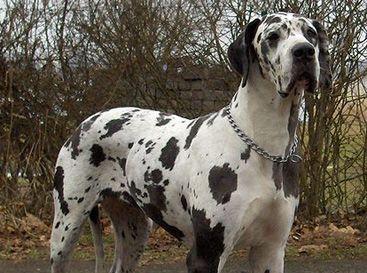 La race de A à Z - Trouve ton chien.com Grand Danois