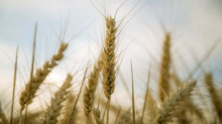 Wheat is the leading source of vegetable protein in human food, having higher protein content than other major cereals like maize (corn) or rice. However the protein present in wheat can lead to abnormal reaction to your immune system causing wheat allergy. If a person whose immune system is weak or if a person is …