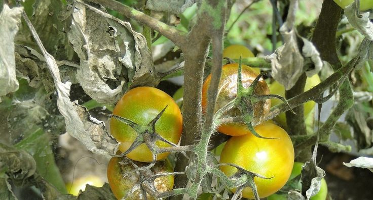 Choroba krzewu pomidora