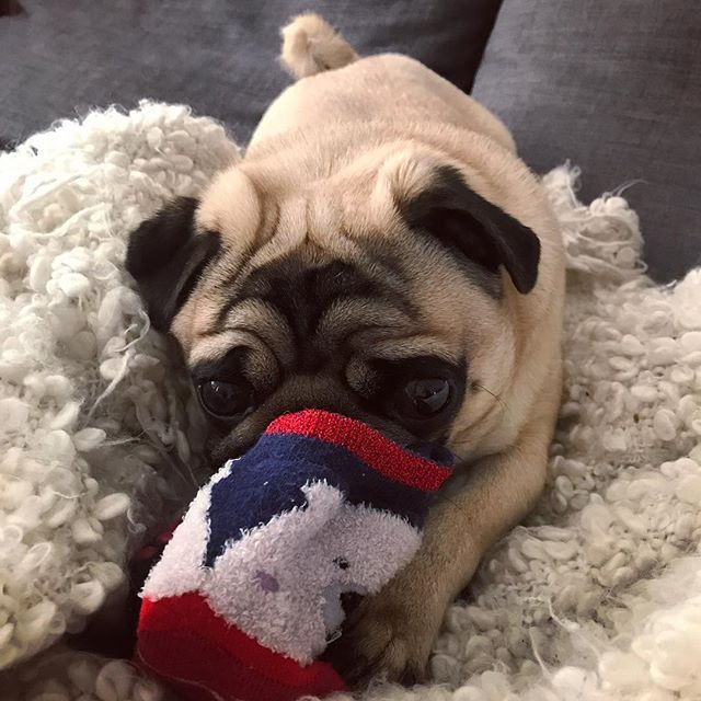 I M Just Looking After Your Sock Mum Pug Puglife Pug Life