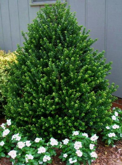 Landscaping With Evergreen Shrubs : Evergreen shrubs ideas on landscaping