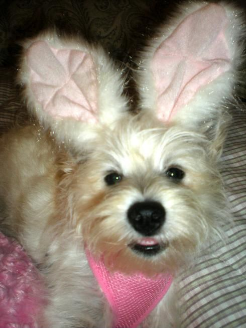 Olivia Bella the Easter Westie