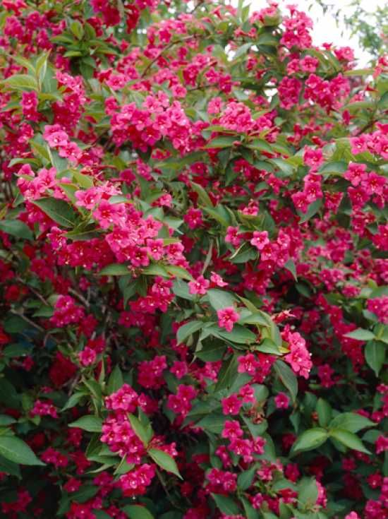 Weigela 'Bristol Ruby' / Weigelie 'Bristol Ruby'