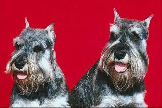 How to Keep a Schnauzer's Face White | eHow