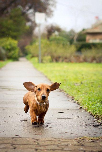 I'm coming!  dauchshund weenie hot dog doxie
