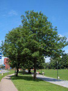 Een boom voor op het gras of langs de straten. Dit is een voorbeeld van een bepaalde boomsoort. Door bomen te plaatsen krijgen we de natuurlijke uitstraling die we willen hebben in de buurt. Ruben