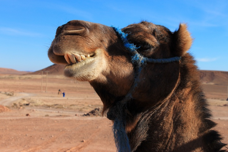 Ouarzazate´s Camel being called by cam!