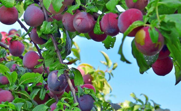 die besten 25 pflaumenbaum ideen auf pinterest rote pflaume obstg rten und pflaumenb ume. Black Bedroom Furniture Sets. Home Design Ideas
