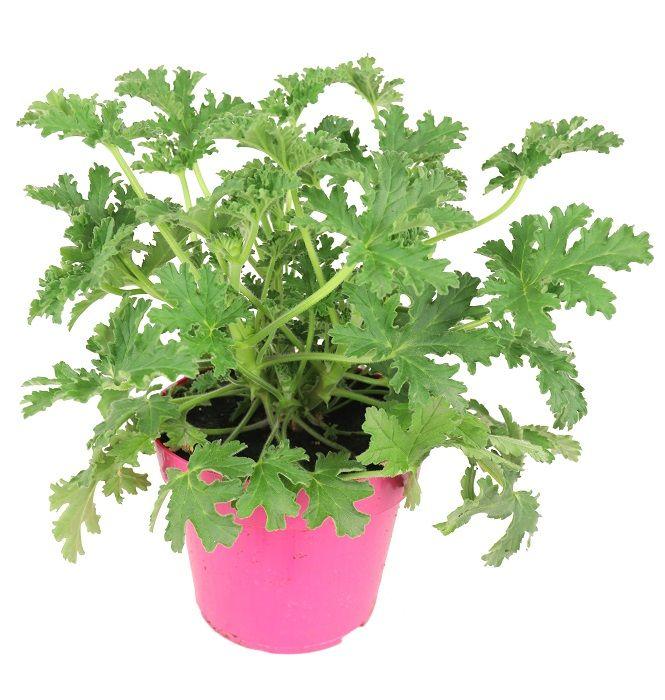 Geranium Lecznicze Anginowiec Zielony Parapet Geraniums Plants Herbs