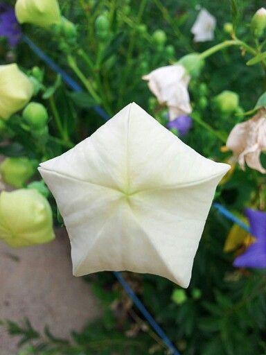 도라지 꽃봉우리