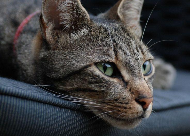 Best Cat Breeds For Low Maintenance